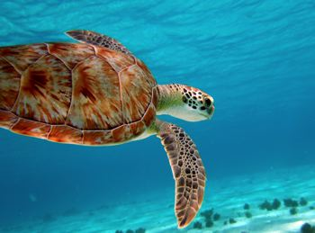 scuba diving turtle image